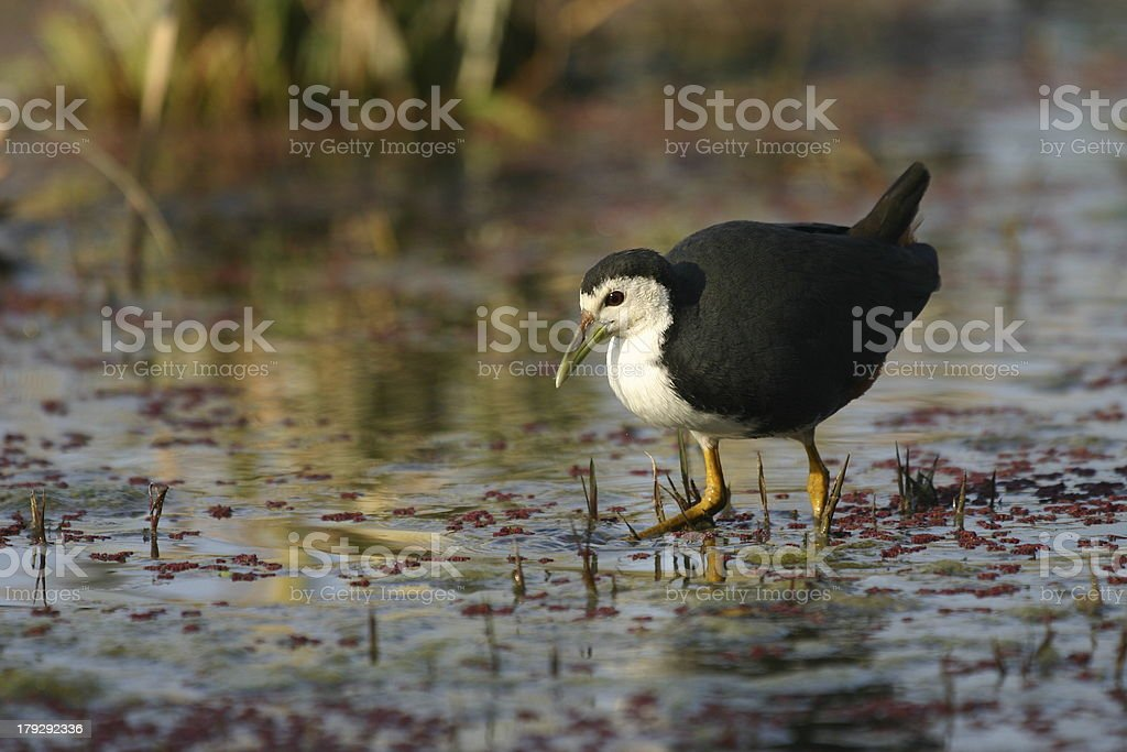 White breasted waterhen stock photo