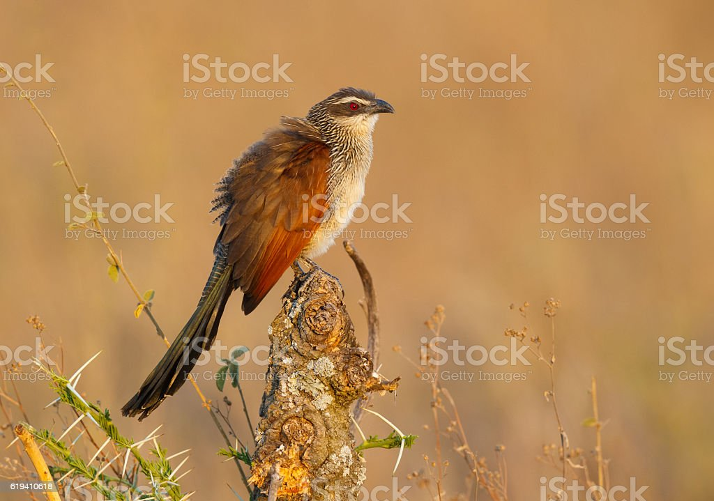 White Browed Coucal, Serengeti National Park, Tanzania Africa stock photo