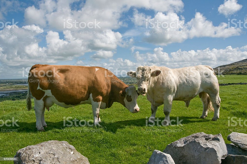 White bull and brown cow royalty-free stock photo