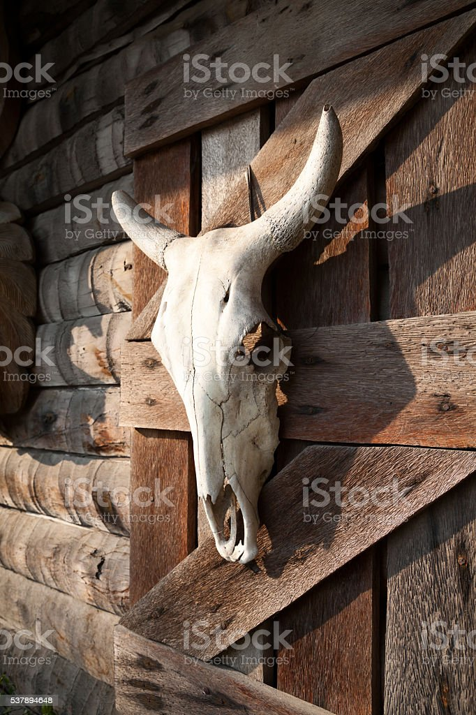White bull skull hanging farm wooden barn wall. Dead animal stock photo