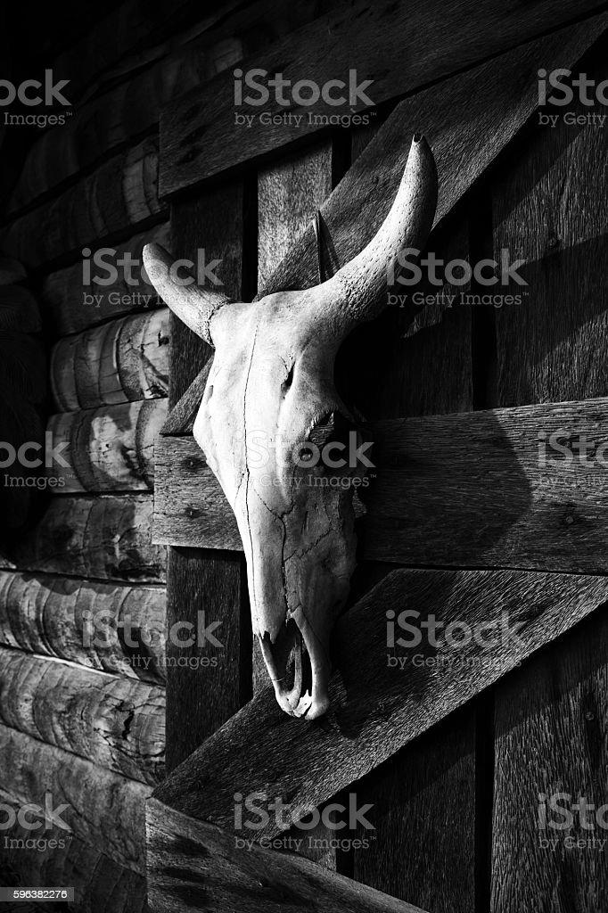 White bull skull hanging on farm wooden barn wall stock photo