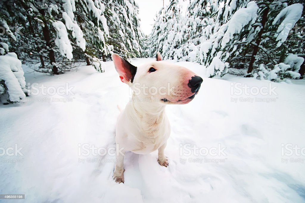 White Bull Terrier dog sitting in the snow forest stock photo