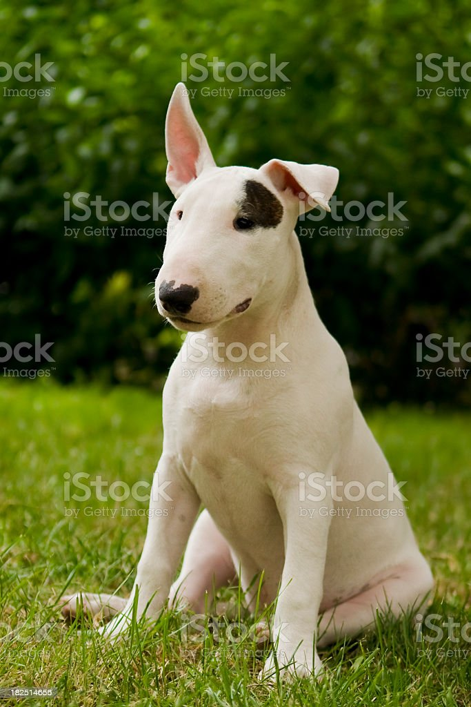 White Bull Terrier Puppy on green lawn stock photo