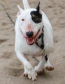 White bull terrier running