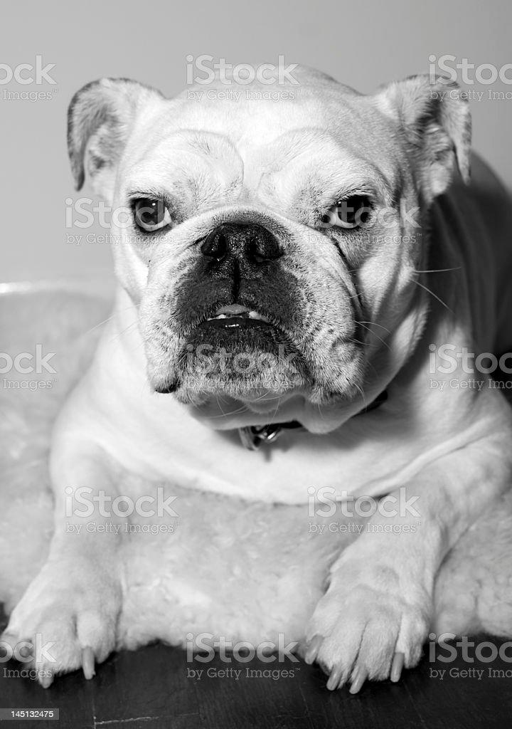 White Bulldog posing pretty stock photo