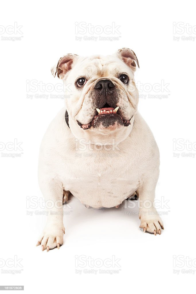 White Bulldog Sitting royalty-free stock photo