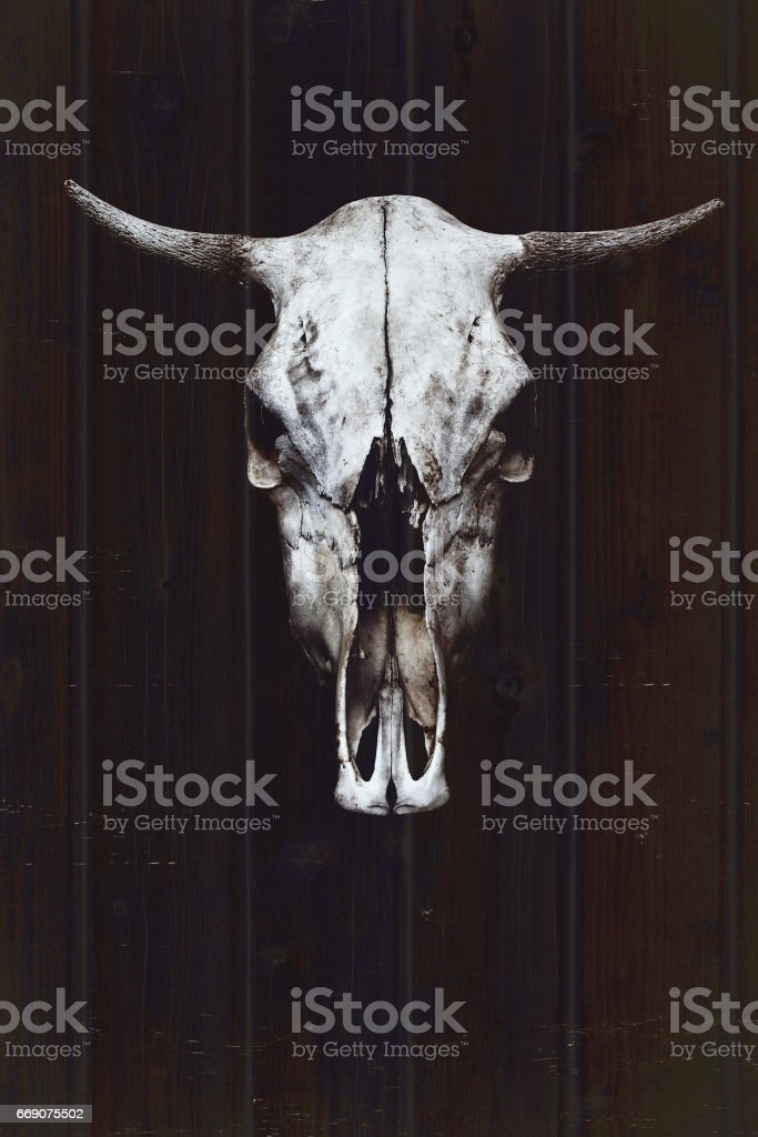 White bull's skull with horns on the background of wooden boards stock photo
