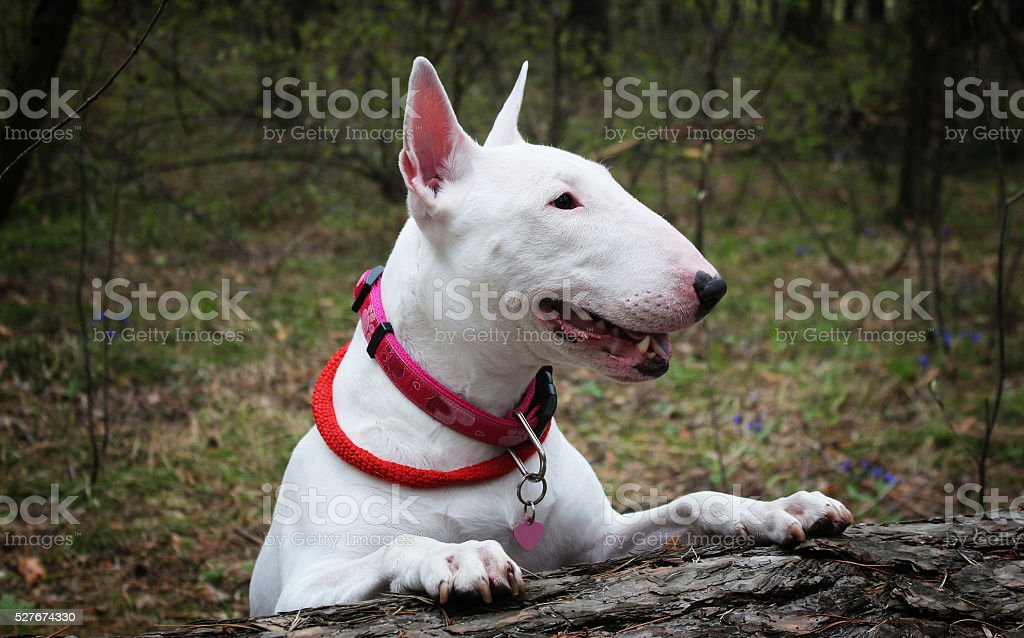 White Bullterrier on nature stock photo