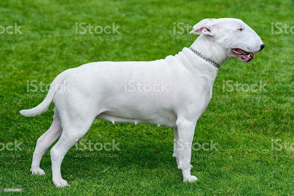 White bullterrier standing on green field. stock photo