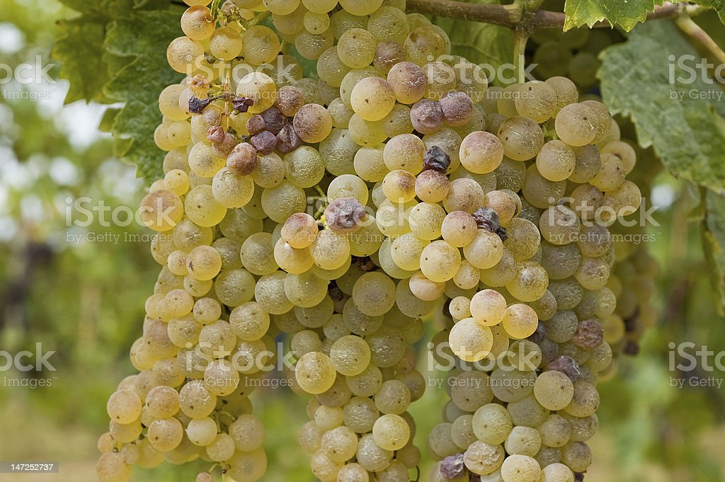 White bunch of grapes stock photo