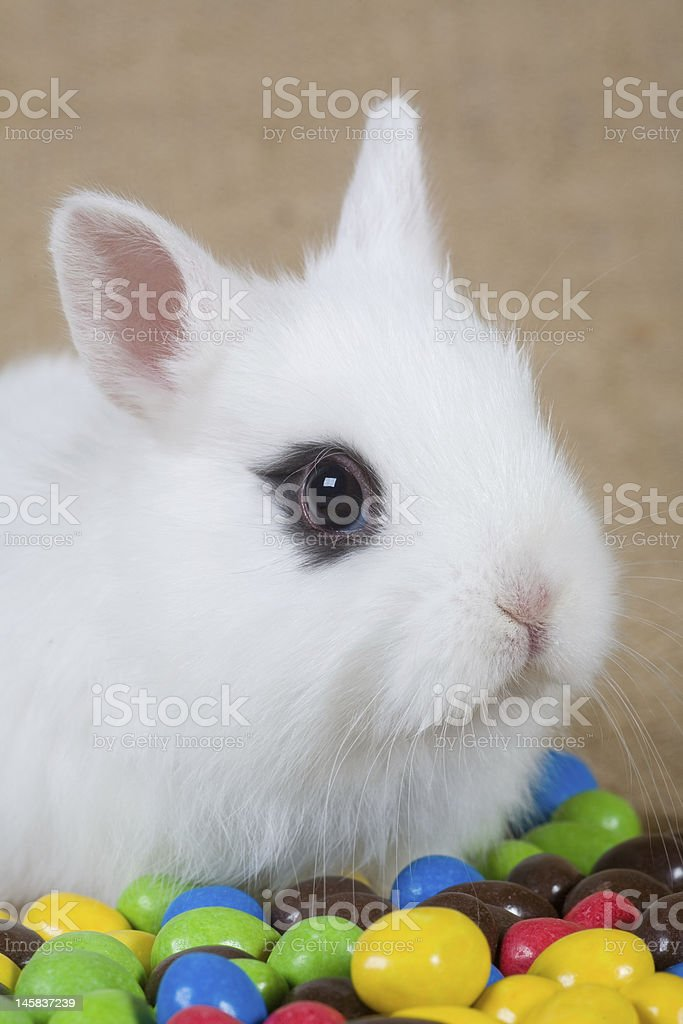 white bunny and chocolate eggs royalty-free stock photo