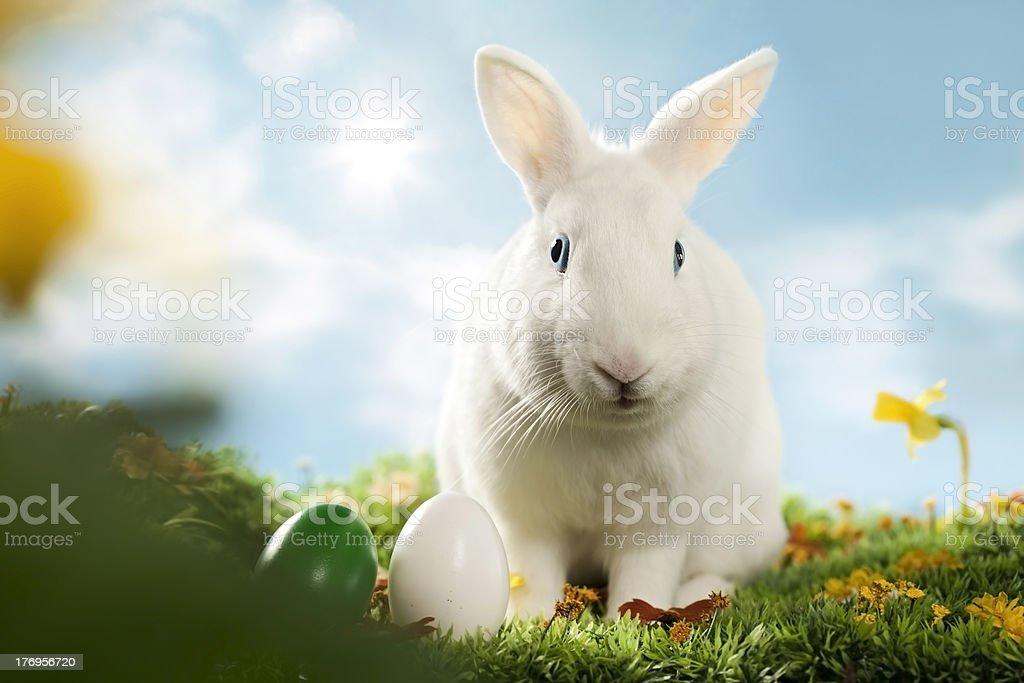 white bunny royalty-free stock photo