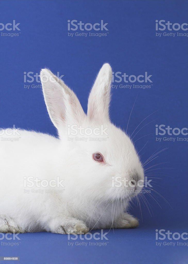 White bunny stock photo