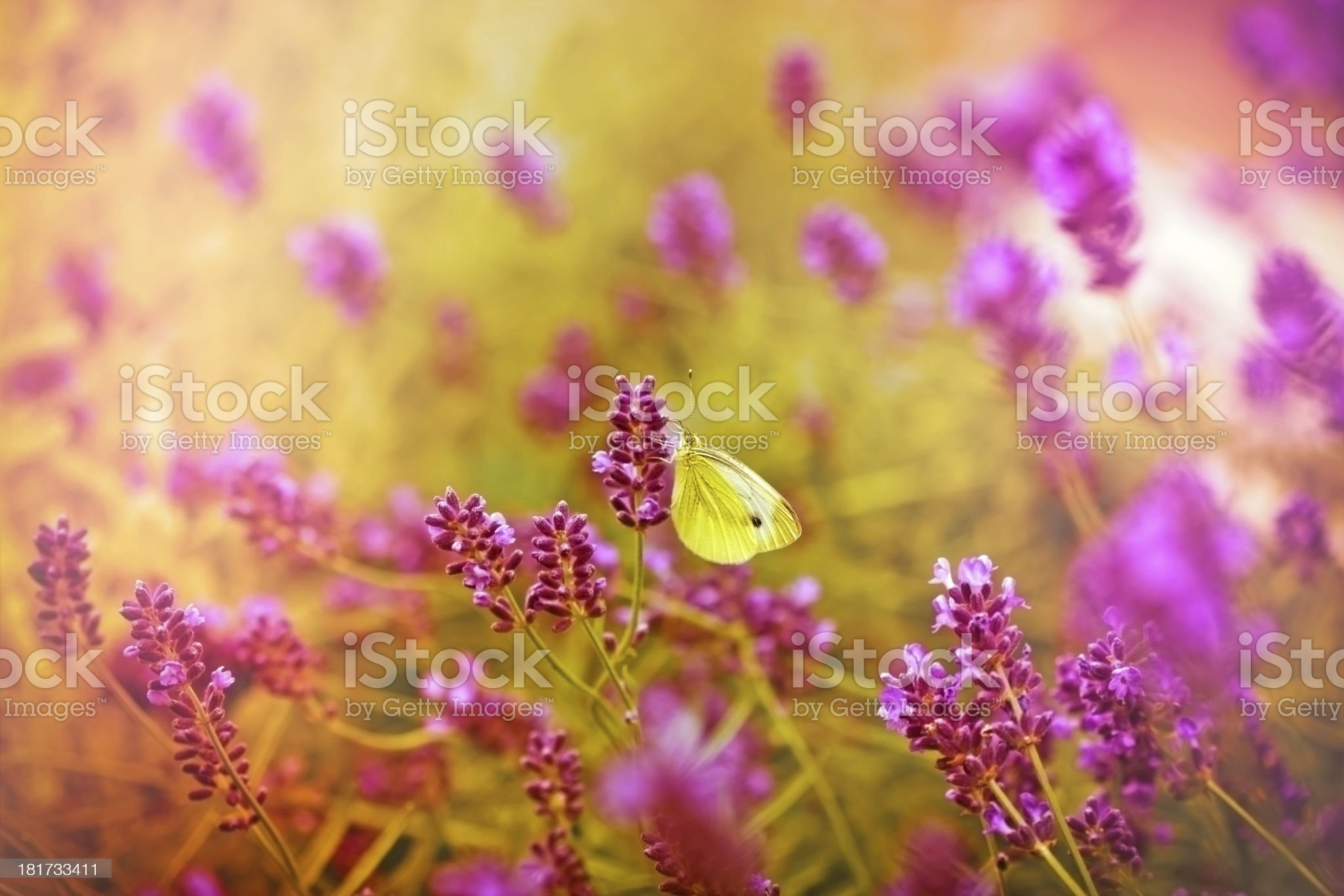 White butterfly on beautiful lavender royalty-free stock photo