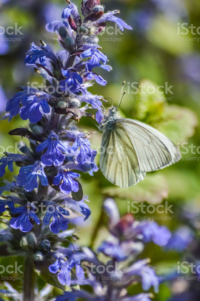 white butterfly (Pieris napi) on bugleweeds stock photo