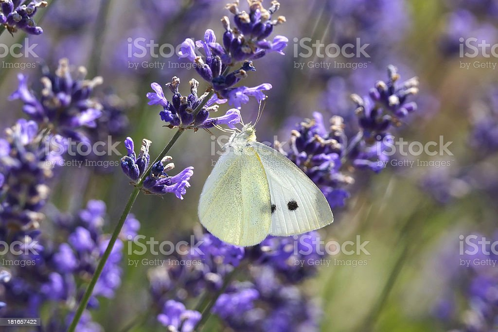 White Butterfly on Lavender (lavendula) royalty-free stock photo