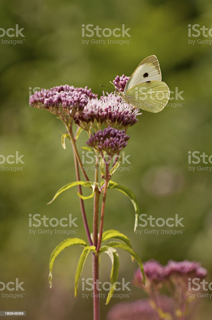 White butterfly on pink flowers royalty-free stock photo