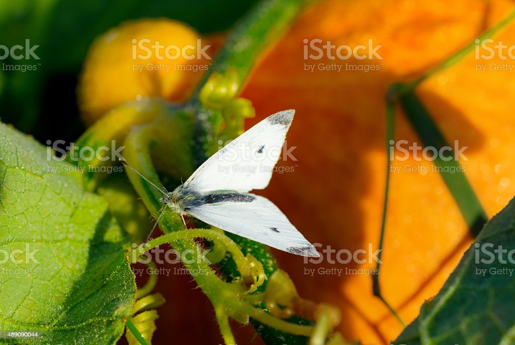 White butterfly on pumkin plant stock photo
