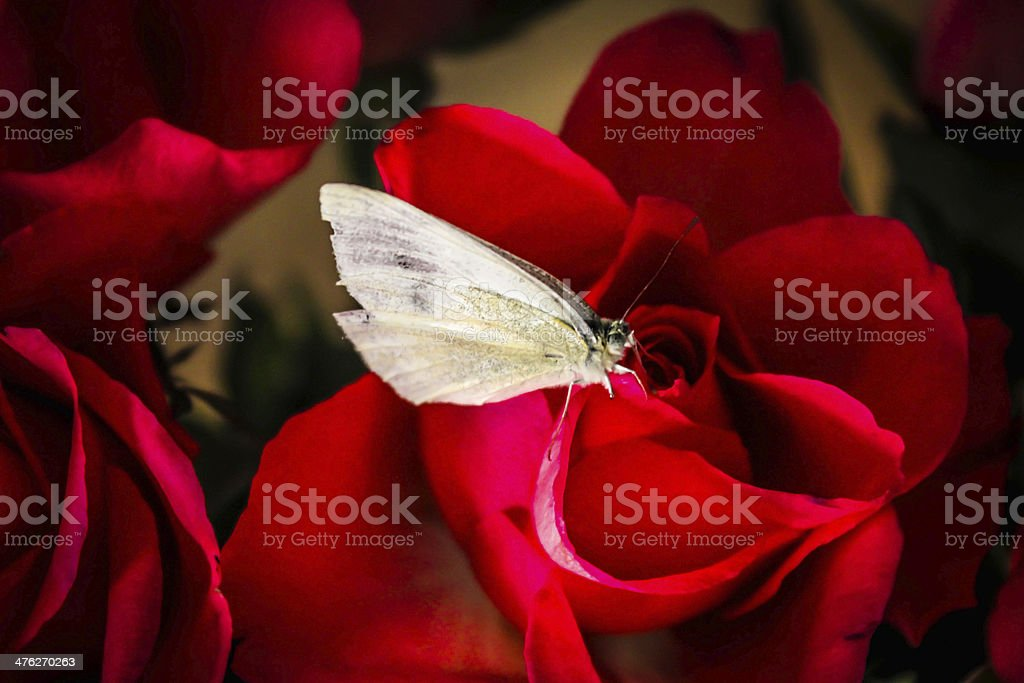 White Butterfly On Red Roses royalty-free stock photo