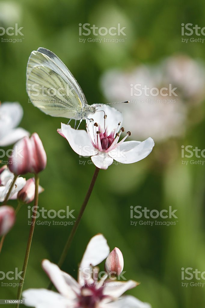 White butterfly on the flower royalty-free stock photo