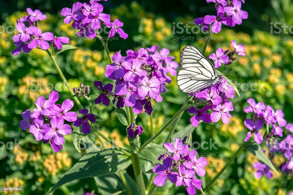 White butterfly on the wildflowers foto de stock royalty-free