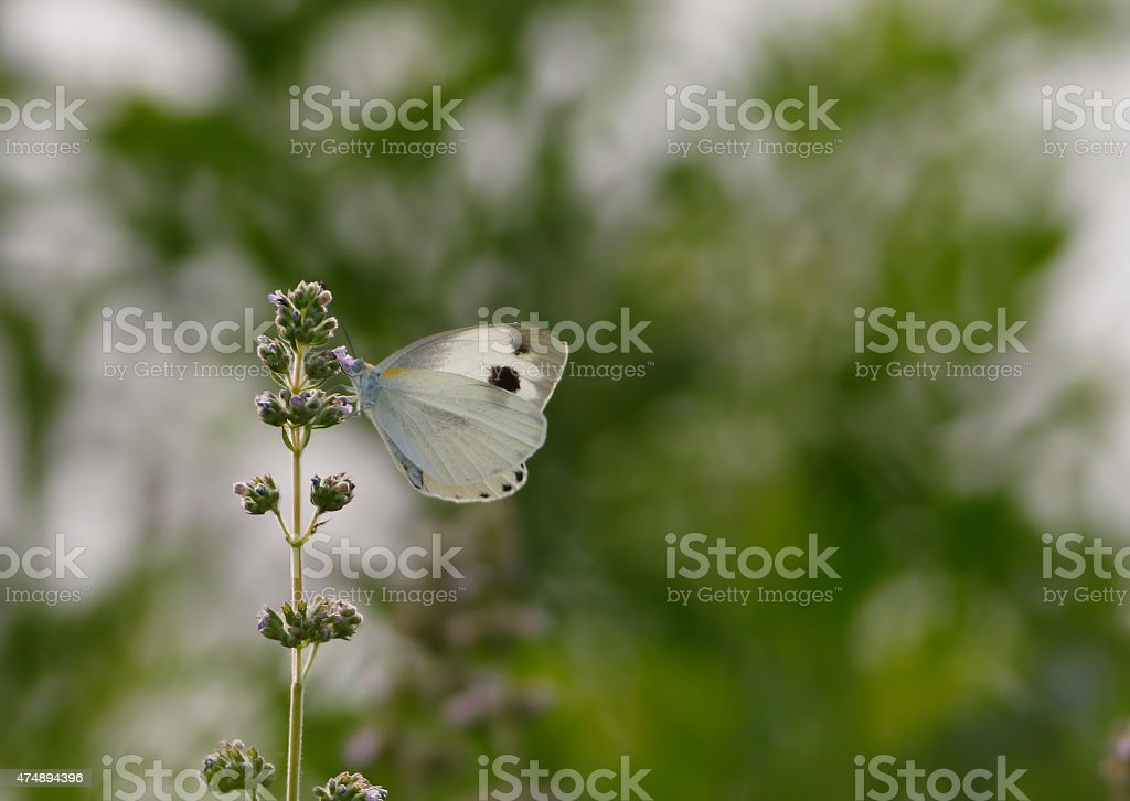 White butterfly on Wild flower. stock photo