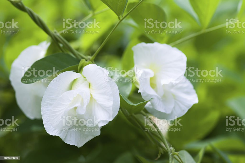 White Butterfly pea flower stock photo