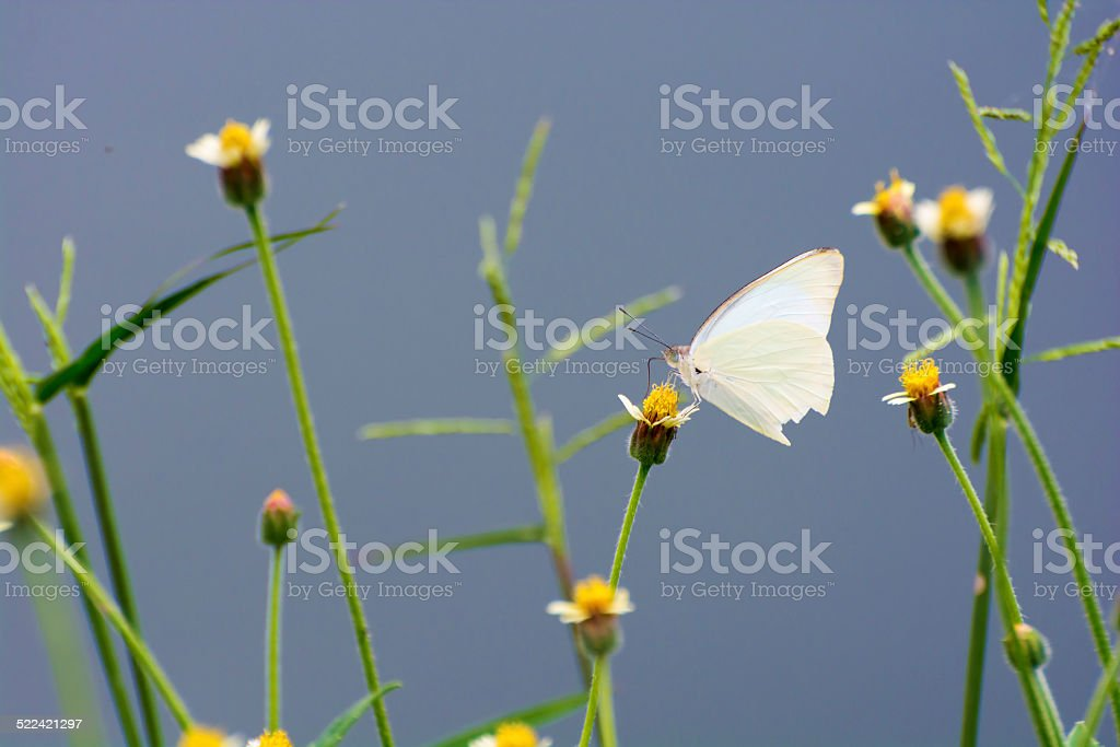 White Butterfly royalty-free stock photo