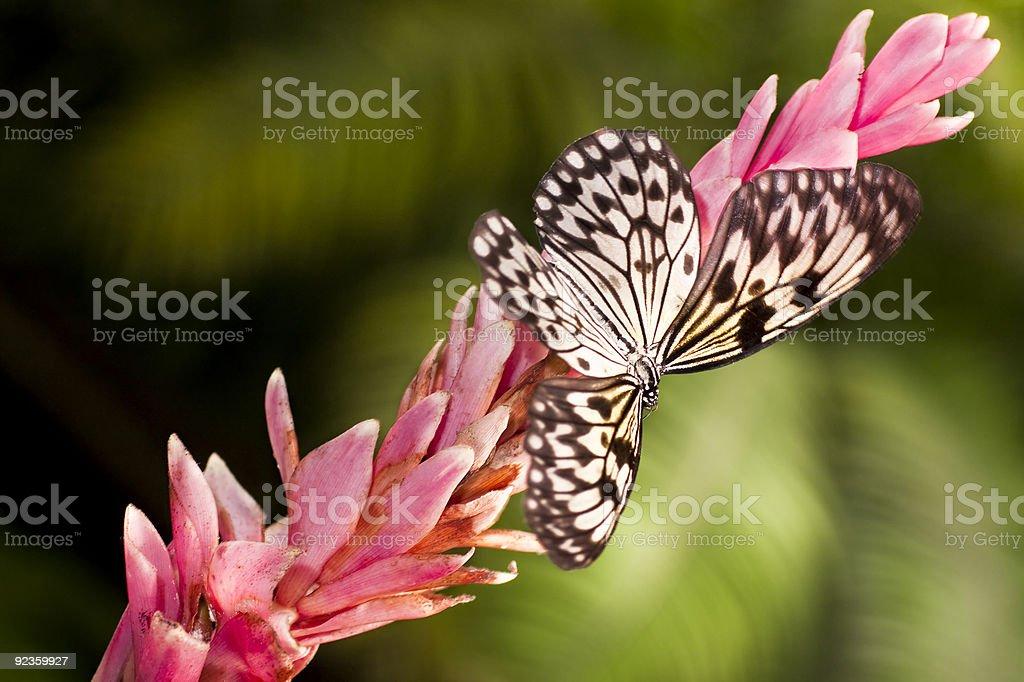 White butterfly (Idea leuconoe) stock photo