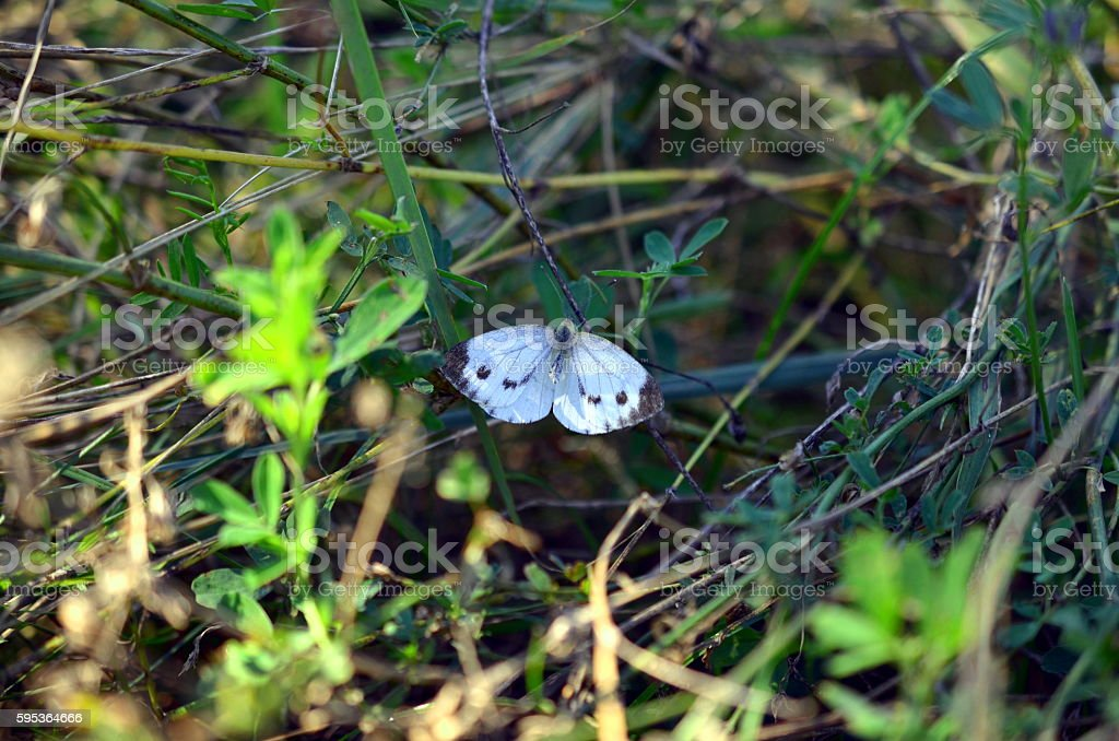 white butterfly with open wings stock photo