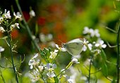 White Cabbage Butterfly perched on white flower