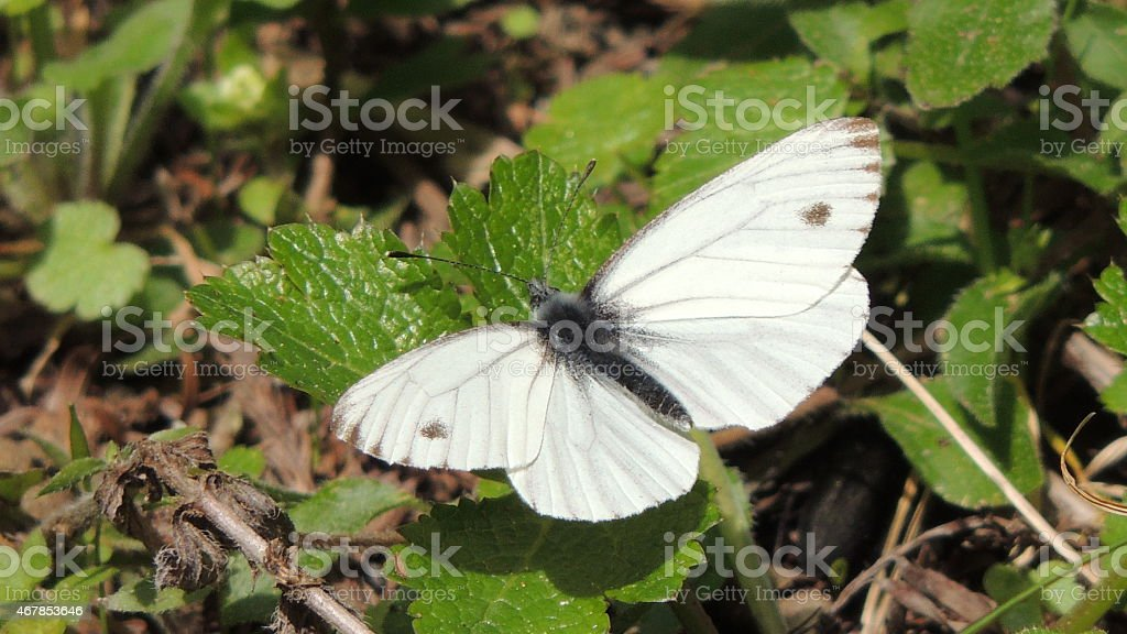 White Cabbage Butterfly stock photo
