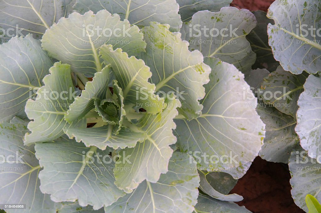 White cabbage head in a field stock photo