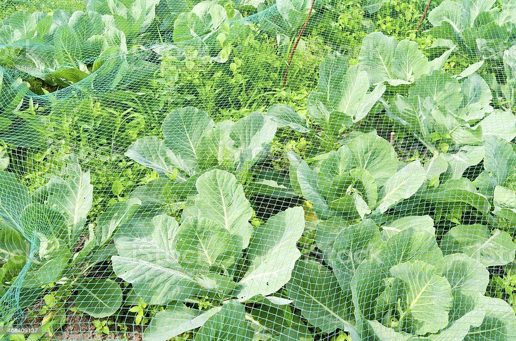 ホワイトのキャベツのオーガニック野菜の庭園。 ロイヤリティフリーストックフォト