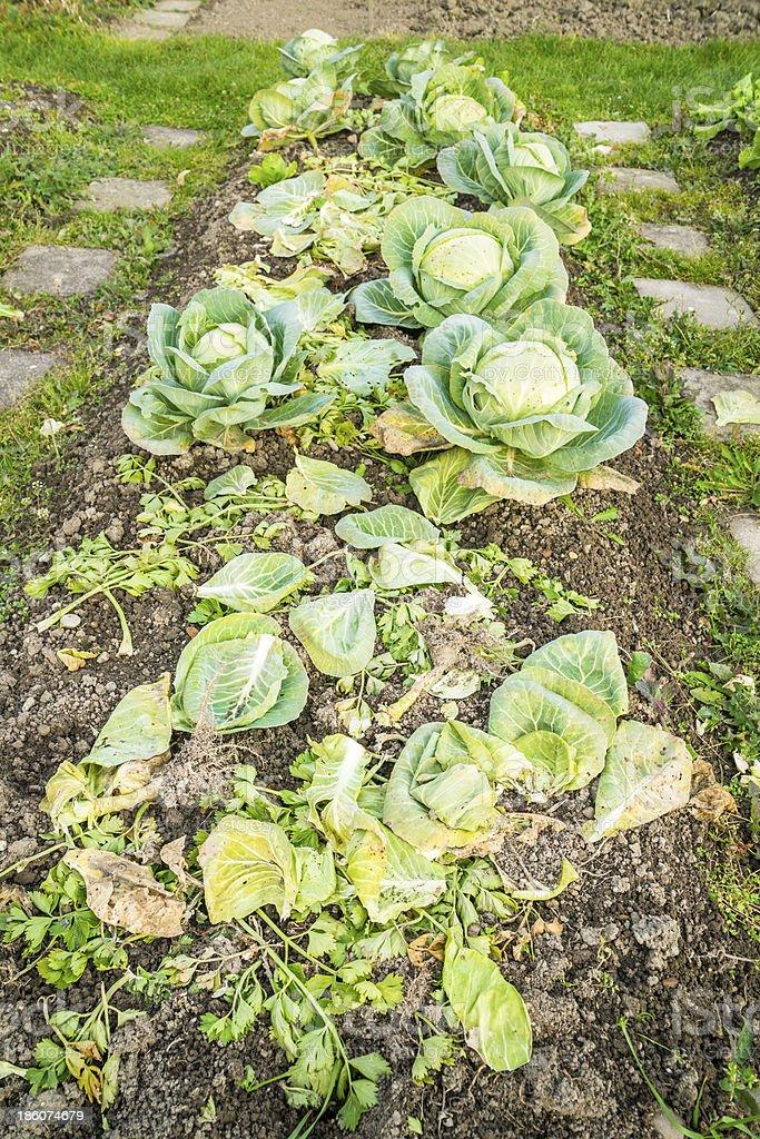 White Cabbage Plants stock photo