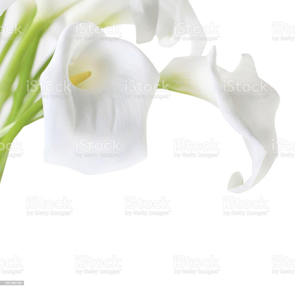 White Cala Lilies stock photo