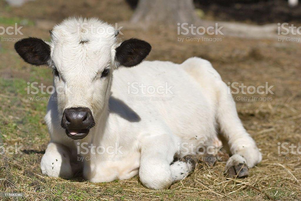 White calf stock photo