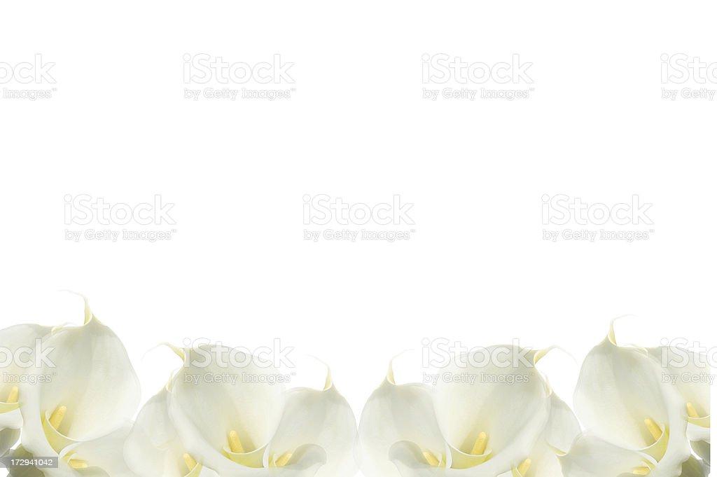 White Calla Lilies forming a beautiful bottom border stock photo
