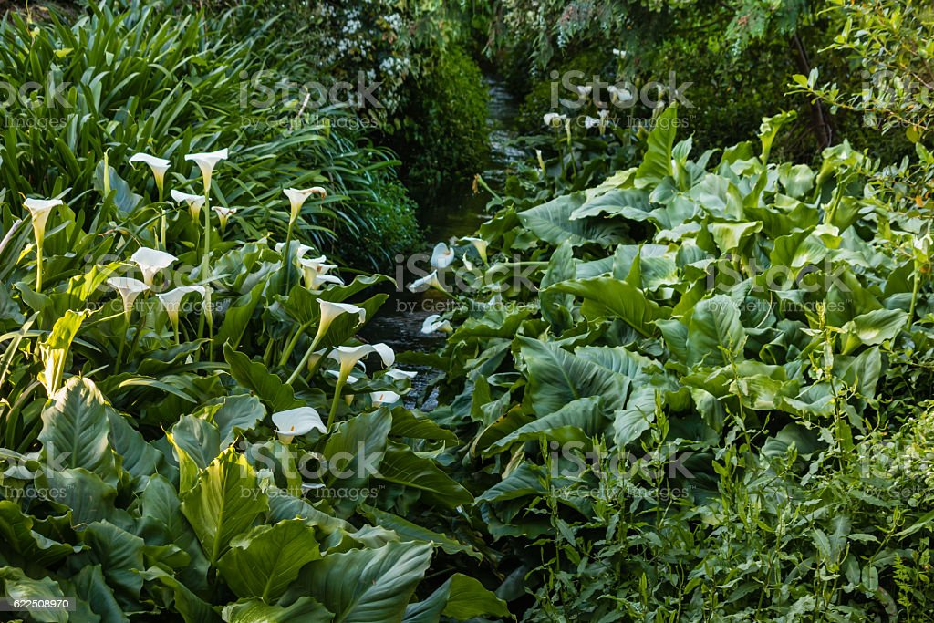 white calla lilies growing around stream stock photo