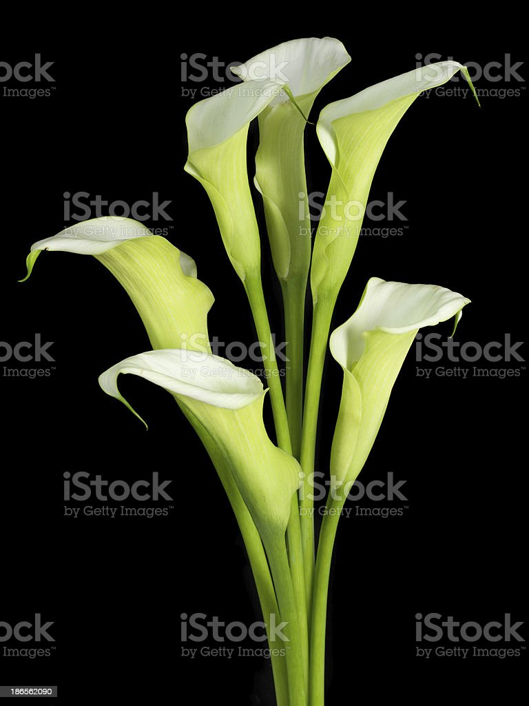 white calla Lilies on black background royalty-free stock photo