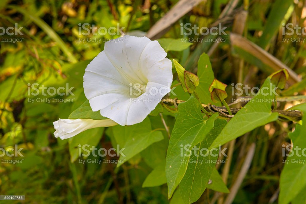 White Calystegiao or Bindweed or Morning Glory stock photo