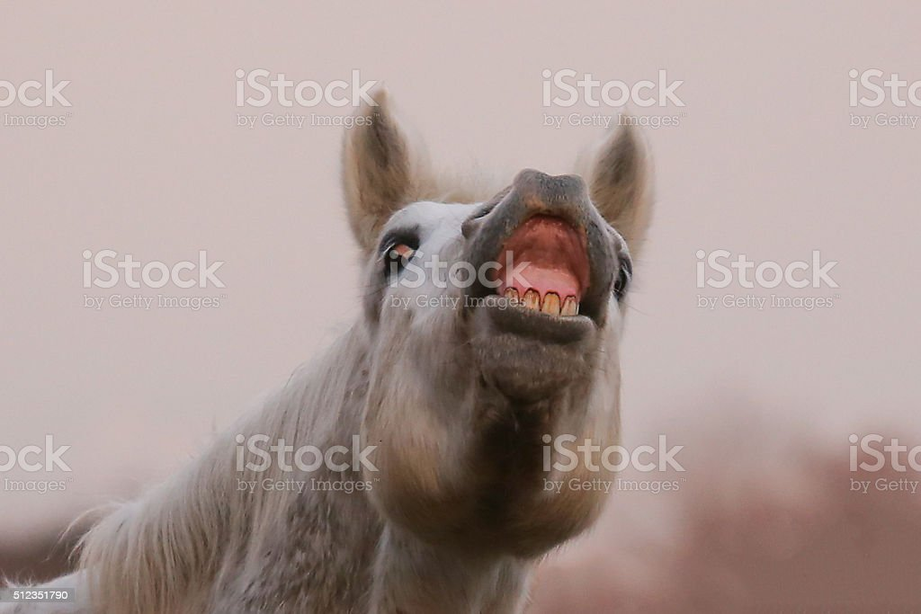 White camargue horse neighing stock photo