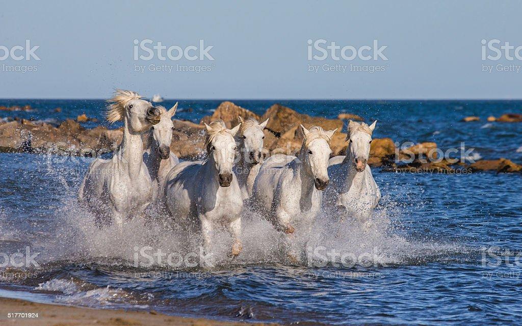 White Camargue Horses galloping along the sea beach. stock photo