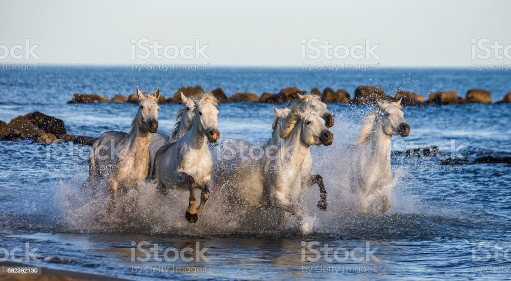 White Camargue Horses galloping along the sea beach. stock photo