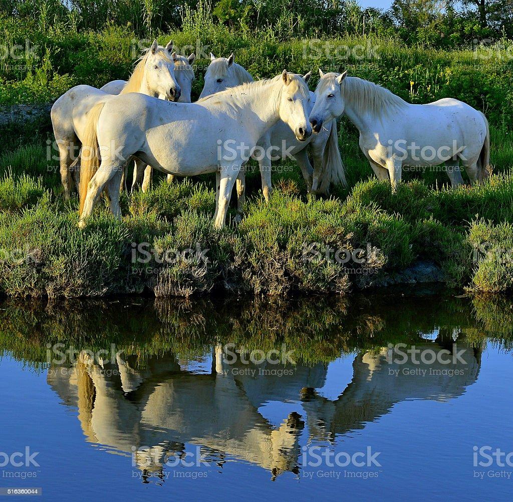 White Camargue Horses stock photo