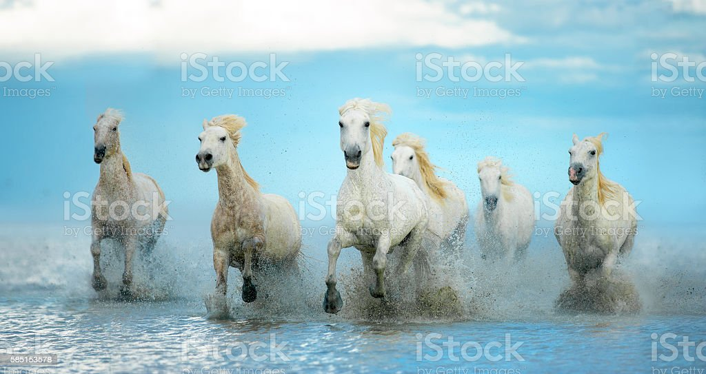 white camargue horses run free on the water stock photo