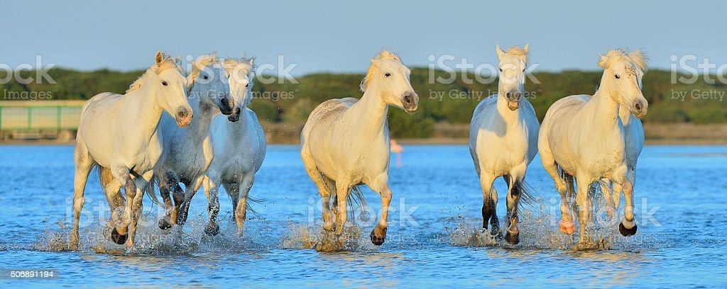 White Camargue Horses running on the blue water stock photo