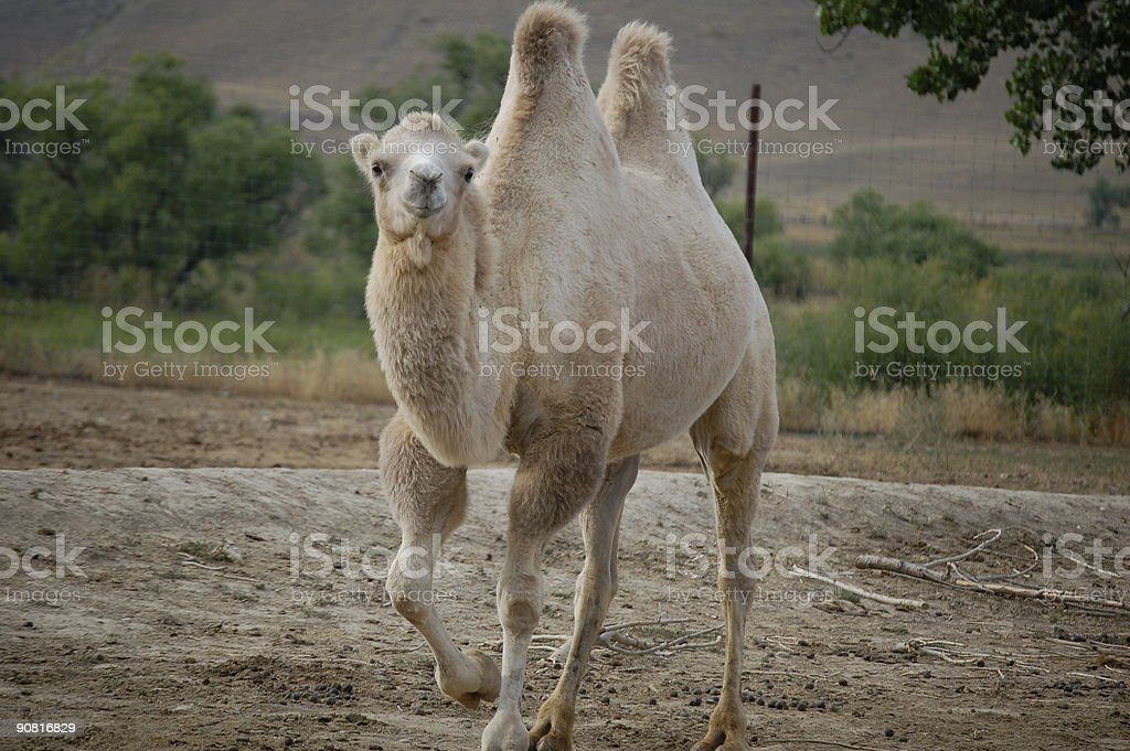 White Camel royalty-free stock photo