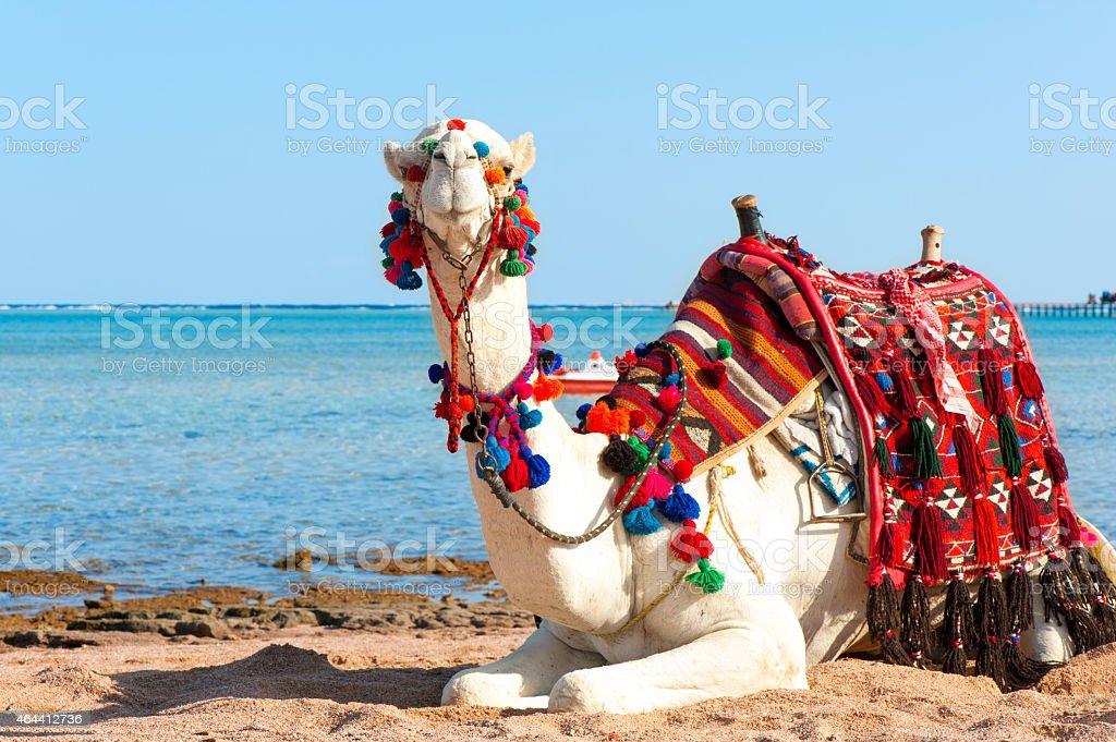 White camel resting on the Egyptian beach. Camelus dromedarius. stock photo