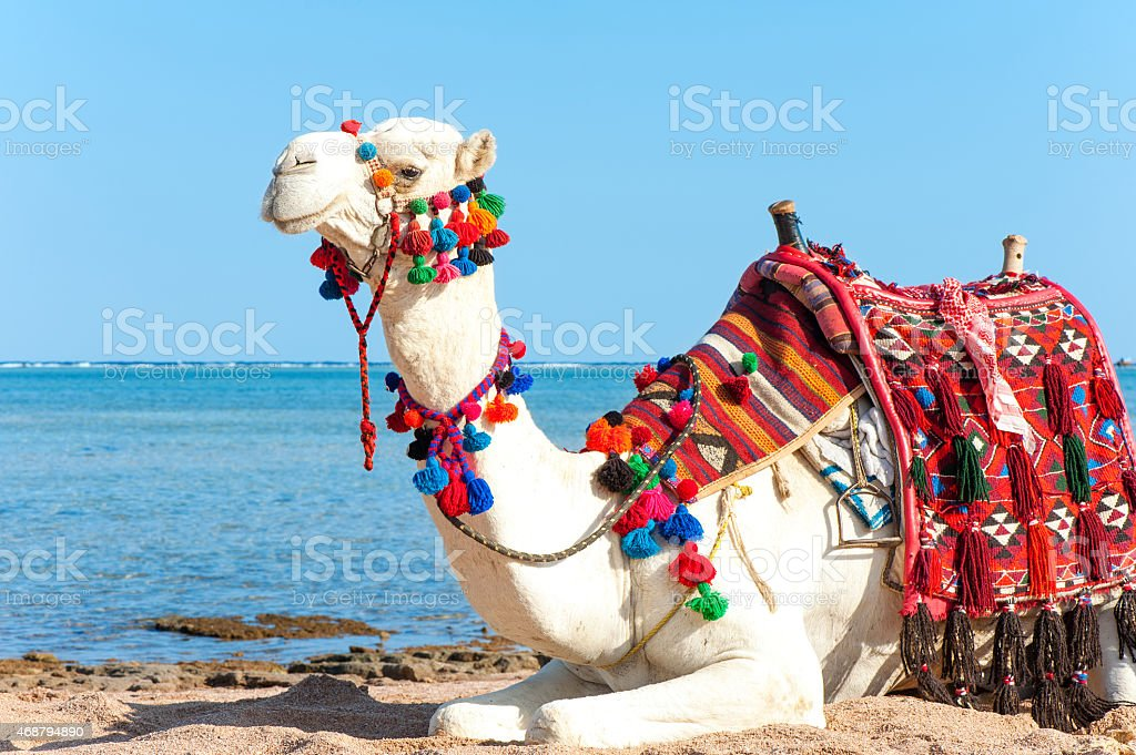 White camel resting on the Egyptian beach. Camelus dromedarius stock photo